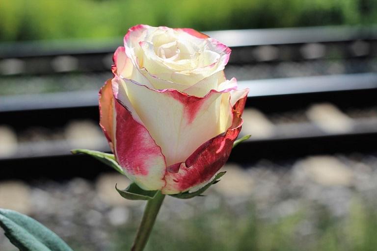 white rose story